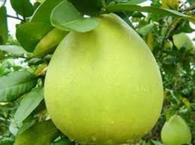 Bưởi Năm Roi có màu vàng ngả xanh – Ảnh nguồn vinabooking.vn