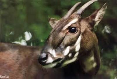 Sao La (Pseudoryx nghetinhensis) – Ảnh: nguồn pumat.vn