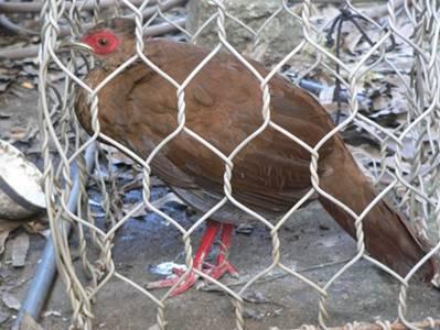 Con gà Lôi Lam mào trắng này có chiều dài toàn thân 52cm, chiều dài sải cánh 31cm, chân dài 14cm, và đuôi dài 25cm – Ảnh: Đất Việt (nguồn vfej.vn – 14.12.2009)