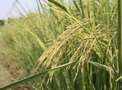Cây lúa Nàng Thơm Chợ Đào – Ảnh: nguồn diendan.mientay.net
