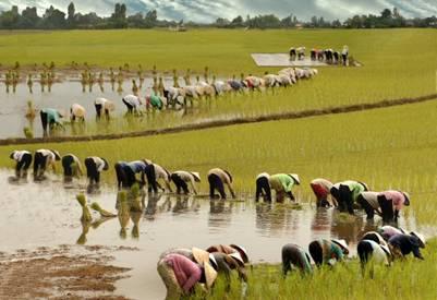 Gieo cấy lúa Nàng Thơm Chợ Đào tại xã Mỹ Lệ – Ảnh: Trần Công Nhung (Vietsciences.free.fr – 25.1.2009)