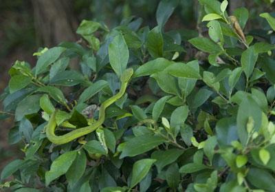 Loài rắn xanh độc với màu da rất khó nhận biết trong lùm cây – Ảnh: nguồn laodong.com.vn