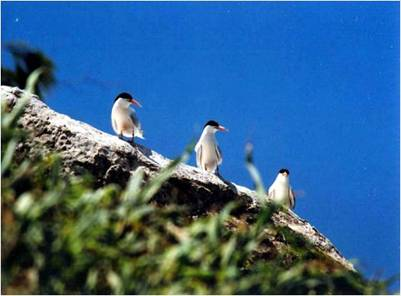 Chim biển ở Côn Đảo – Ảnh: nguồn phuotclub.blogspot.com