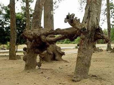 Những gốc rễ cổ quái – Ảnh: nguồn mientaynet.com