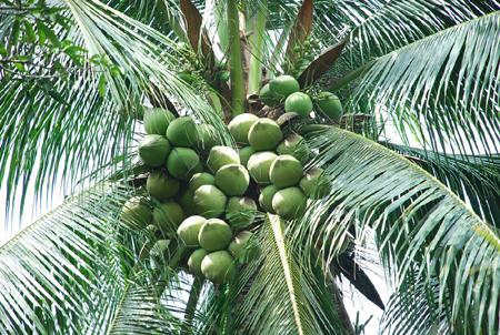 Cây Dừa sáp Cầu Kè