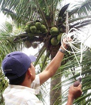 thụ phấn cho cây Dừa sáp