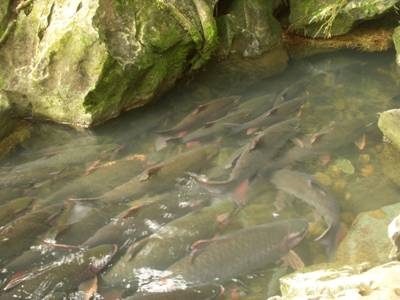 Đàn cá ra suối dạo chơi