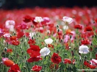 Vẻ đẹp chết người của hoa Anh túc