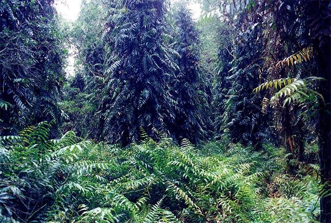 Sinh cảnh rừng tại U Minh Thượng