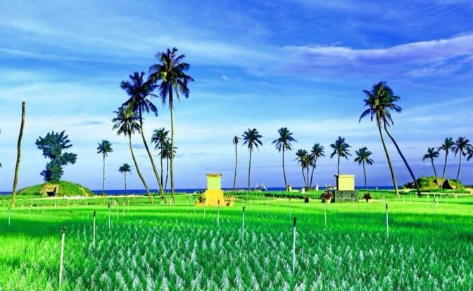 Vườn tỏi trên đảo Lý Sơn
