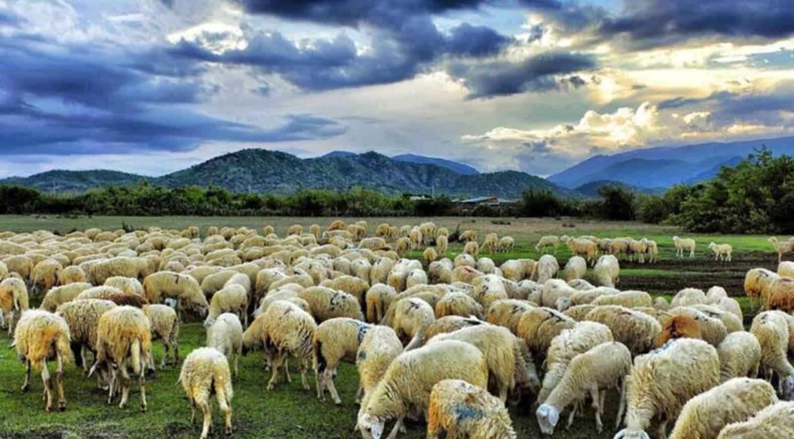 Những cánh đồng cừu ma mị