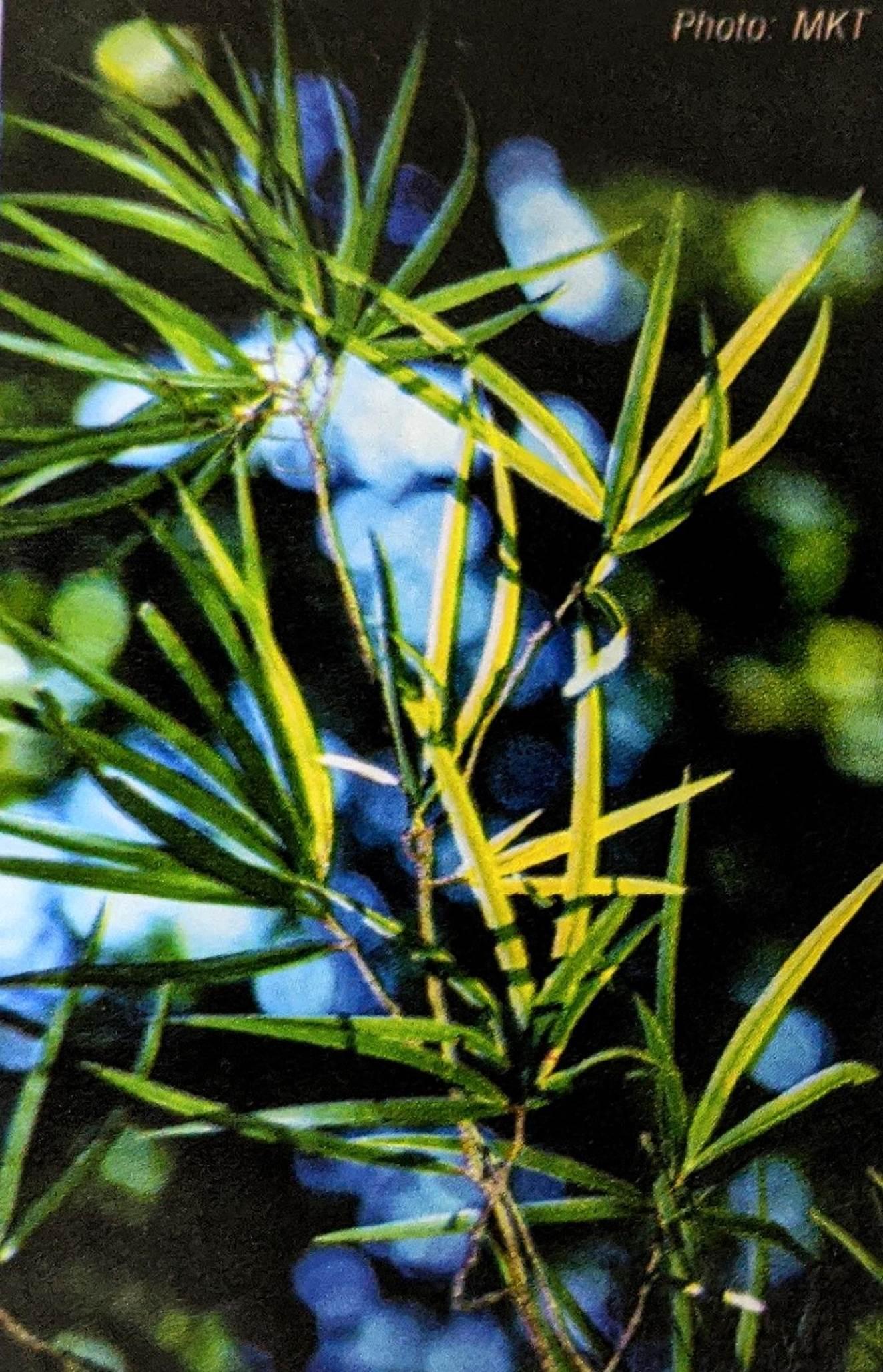 Lá của cây thông 2 lá dẹt