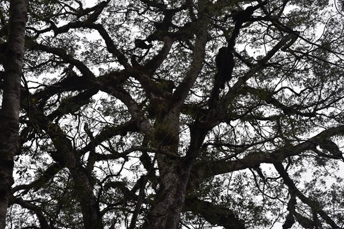 Cây thông 2 lá dẹt có các tán cây tỏa rộng